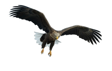Poster Eagle Adult White-tailed eagle in flight. Front view. Isolated on White background. Scientific name: Haliaeetus albicilla, also known as ern, erne, gray eagle, Eurasian sea eagle and white-tailed sea-eagle