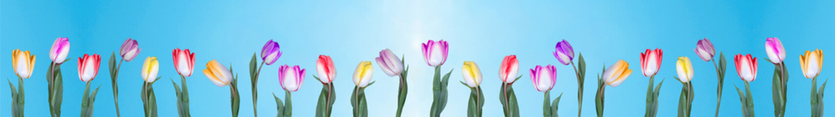 Photo sur Plexiglas Tulip Many multicolored tulips on a tulip field isolated on blue sky background banner panorama long