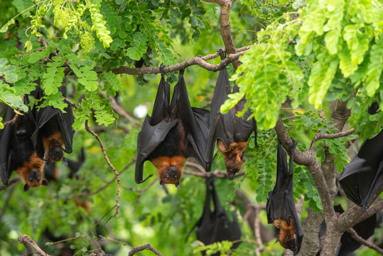 Bats hanging on a tree branch ,bats are among the carriers of the coronavirus epidemic ravaging China