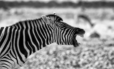Zebra On Field