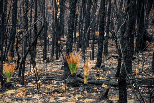 Australian bushfires aftermath: grass trees recovering after severe fire damage. Many of australian plant species can survive bushfires and re-sprout again