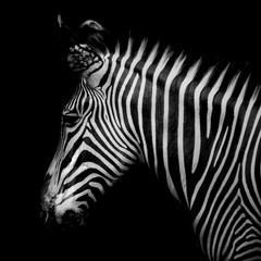 Aluminium Prints Close-Up Of Zebra Against Black Background