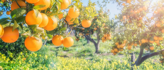 orange trees plantations Wall mural