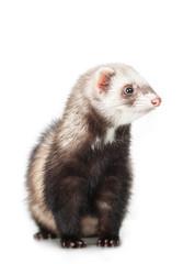 Fototapete - young ferret