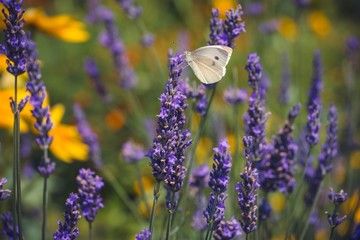 CLOSE-UP OF BUTTERFLY ON PURPLE FLOWERS