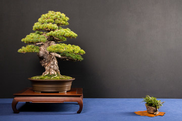 Poster Bonsai Bonsai Pinus penthafila exposed on table isolated on black background