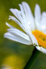 Macro Shot of white daisy flower isolated on green background.