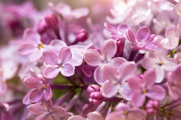 Wall Murals Lilac macro shot of beautiful lilac flowers, suitable for floral background