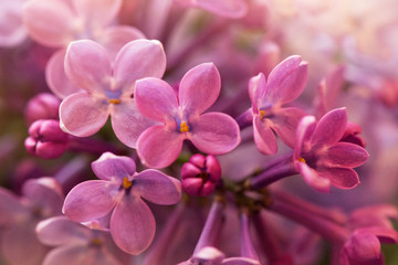 Wall Murals Lilac soft purple lilac flowers, macro shot, suitable for floral background