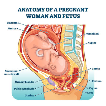 Anatomy of a pregnant woman and fetus labeled diagram, vector illustration medical scheme