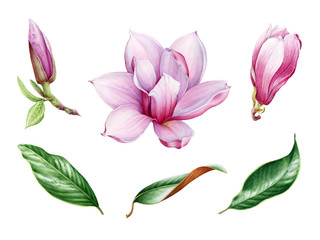 Pink magnolia flower and leaf watercolor set. Hand drawn close up collection of spring blossom and leaves. Magnolia tree illustration elements isolated on white background.