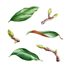 Green magnolia leaves watercolor set. Hand drawn close up magnolia tree elements. Natural spring leaf and bud botanical illustration isolated on white background.
