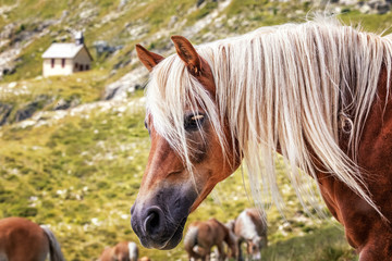 Haflinger horses on alpine pasture near Merano in South Tyrol, Italy