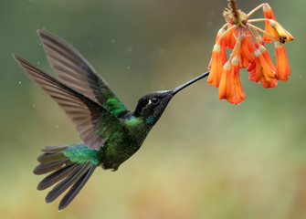 Tuinposter Vogel Hummingbird in Costa Rica