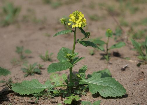 Acker-Senf, Sinapis arvensis, ganze Pflanze auf Sandboden