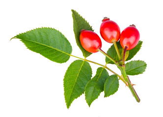 Thorny briar twig with red rosehips and green leaves isolated on a white background. Rosa canina. Sweet ripe rose hips on fresh small branch of wild brier with prickly thorns. Medicinal natural fruit.