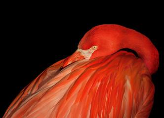 In de dag Flamingo Close-Up Of Flamingo Against Black Background