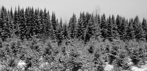 Türaufkleber Grau Late fall, early winter christmas tree field landscape in Bromont, Eastern township Quebec, Canada