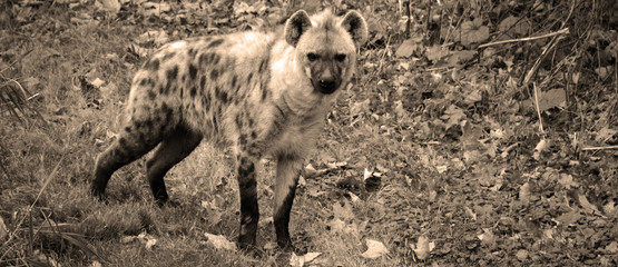 In de dag Hyena Spotted hyena (Crocuta crocuta), also known as the laughing hyena,is a species of hyena, currently classed as the sole member of the genus Crocuta, native to Sub-Saharan Africa.