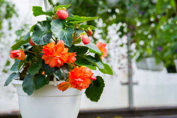 Closeup of begonia plant in a white pot with beautiful big orange flowers and dark green leaves, photographed in greenhouse, summer Fototapete