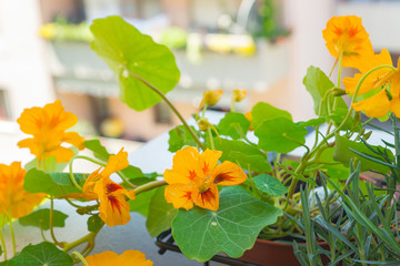 Healthy organic heirloom flowering nasturtium plant growing on a balcony on a sunny day. Edible bee-friendly herbs, flowers, fruits, and vegetables for urban gardening in Trento city in northern Italy