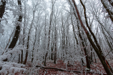 Snow trees in the forest