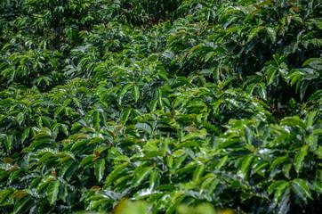 coffee plantation south america