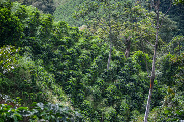 areal view of a traditional arabica coffee plantation in Colombia south america, with tall trees to provide shadow
