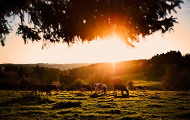 Poster de jardin Vache Kühe auf einer Wiese