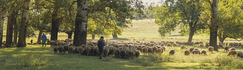 Foto op Aluminium Schapen Sheep and goats graze on green grass in spring. Panorama, toned.