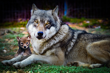 wolf and baby wolf