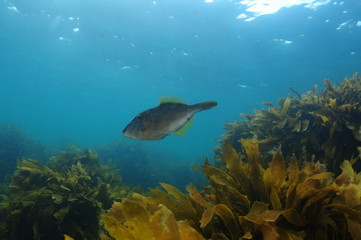 New Zealand triggerfish called leatherjacket Parika scaber swimming above fields of brown seaweed Ecklonia radiata.