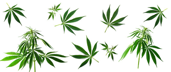 Cannabis background. The sheet of hemp isolated on a white background