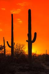 Printed kitchen splashbacks Red Saguaro Cactus at sunset in Saguaro National Park near Tucson, Arizona.
