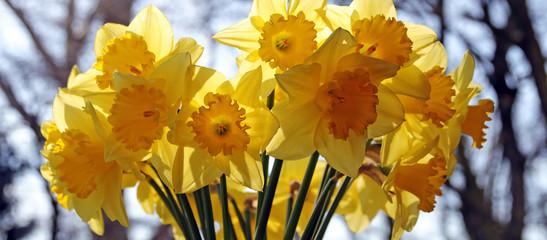 Papiers peints Narcisse gelbe narzissen banner