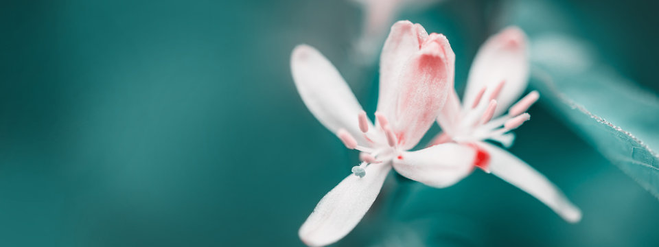 Macro of spring white flowers. Flowering time. Creative cyan colors. Surreal Nature Springtime background, banner format