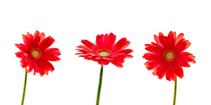 Three red daisies (gerbera) flowers isolated on white background