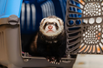Veterinarian examines a ferret in a clinic. Preventive procedures at the veterinary clinic for a pet