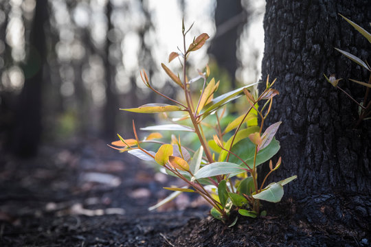 Bushfire regrowth from burnt bush