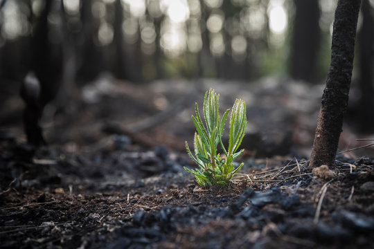 Bushfire regrowth from burnt bush