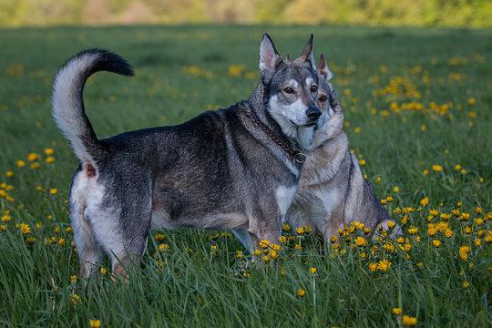 Wolfdogs On Grassy Field