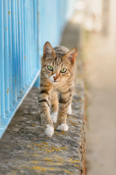 Cute young tabby cat walking on a garden wall with a blue iron fence and looking curiously, Greece, Europe