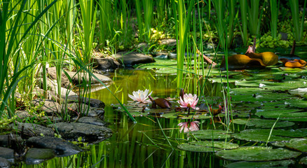 Spoed Fotobehang Waterlelies Magic of nature with pink water lilies or lotus flowers Marliacea Rosea. Nympheas are reflected in dark pond water with beautiful bright green plants. Selective focus. Nature concept for design
