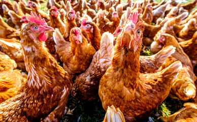 group of chicken at a farm
