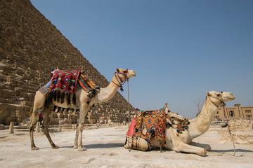 Zelfklevend Fotobehang Egypte Camels In Desert Against Clear Sky