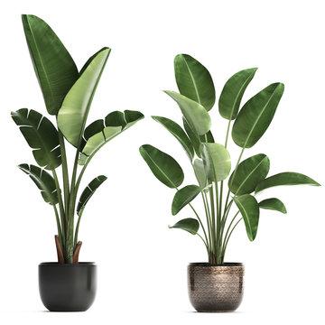 tropical plants Strelitzia in a pot