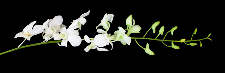 Tuinposter Orchidee Dendrobium noble (Emma white) orchid flower. White tropical exotic plant front view isolated on black background