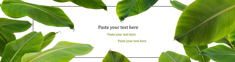 green banana leaf  border on white background