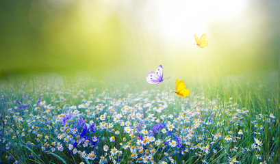 Wall Mural - Beautiful field meadow flowers chamomile and violet wild bells and three flying butterflies in morning green grass in sunlight, natural landscape. Delightful pastoral airy fresh artistic image nature.