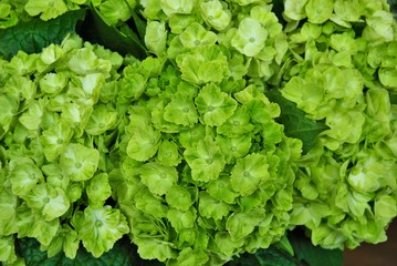 Zelfklevend Fotobehang Hydrangea green hydrangea flower on the bush in my backyard garden